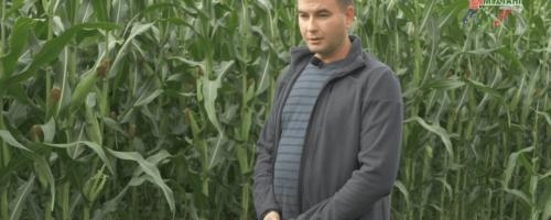 Лучшая кукуруза на силос. Французский гибрид против Краснодарского сорта, хозяйство Логовское, Алтай